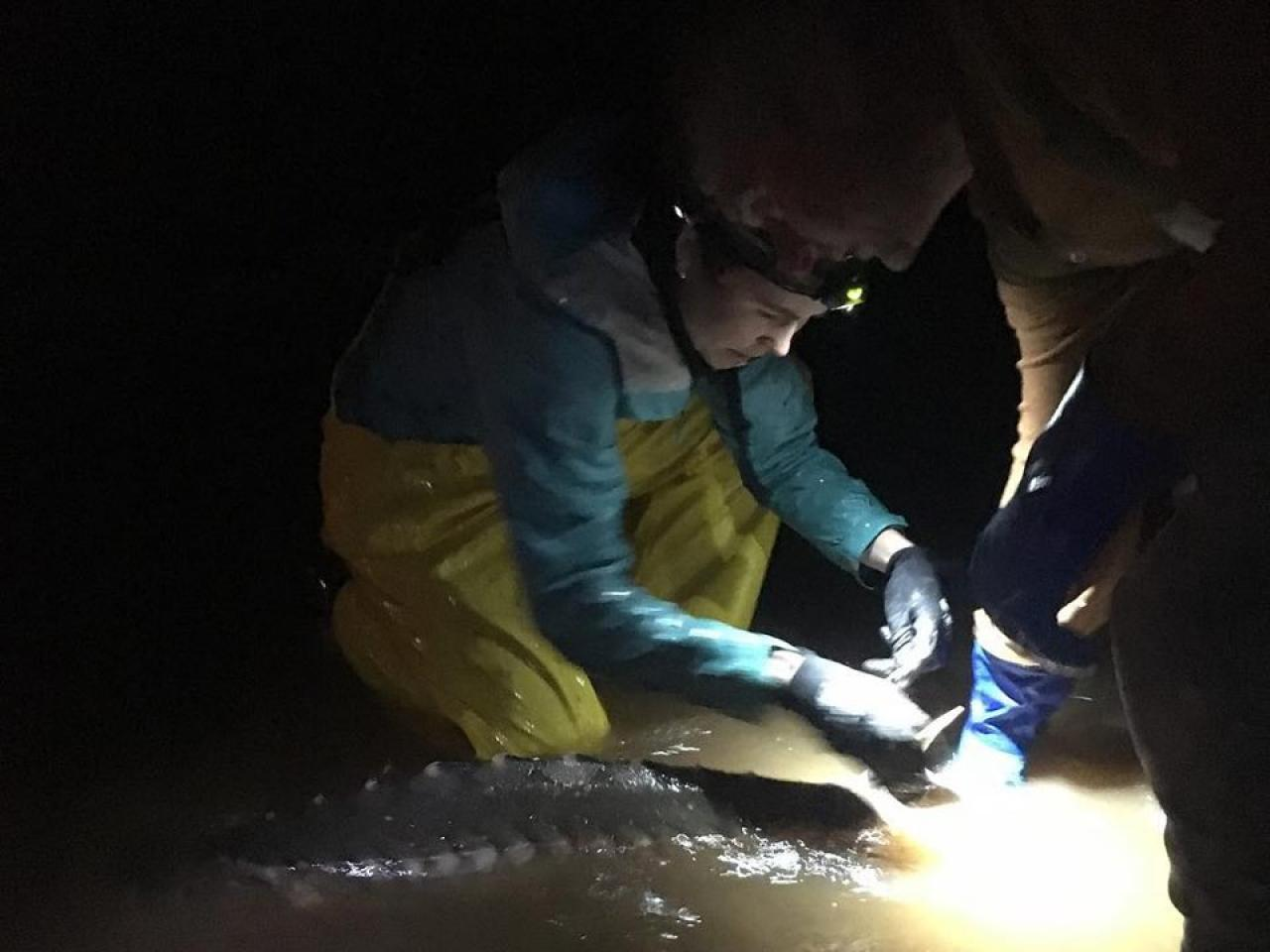 Jessie Lilly attaches a tag to an Atlantic Sturgeon at night